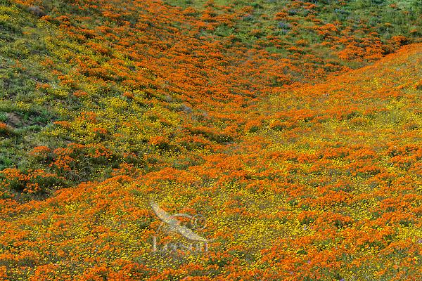 Wild California Poppies (Eschscholzia californica) and goldfields (yellow wildflowers) cover hillside.  California.  Spring.  Photo taken near the Antelope Valley California Poppy Reserve.