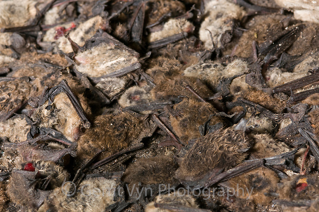 Dead Little Brown Bats, as many as 20,000, litter the floor of Vermont's Aeolus Cave in February of 2009.