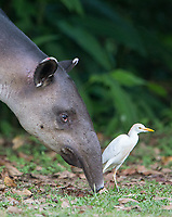 Cattle egrets are often seen following large mammals, waiting to pick off insects they stir up.  This one chose to accompany a tapir.