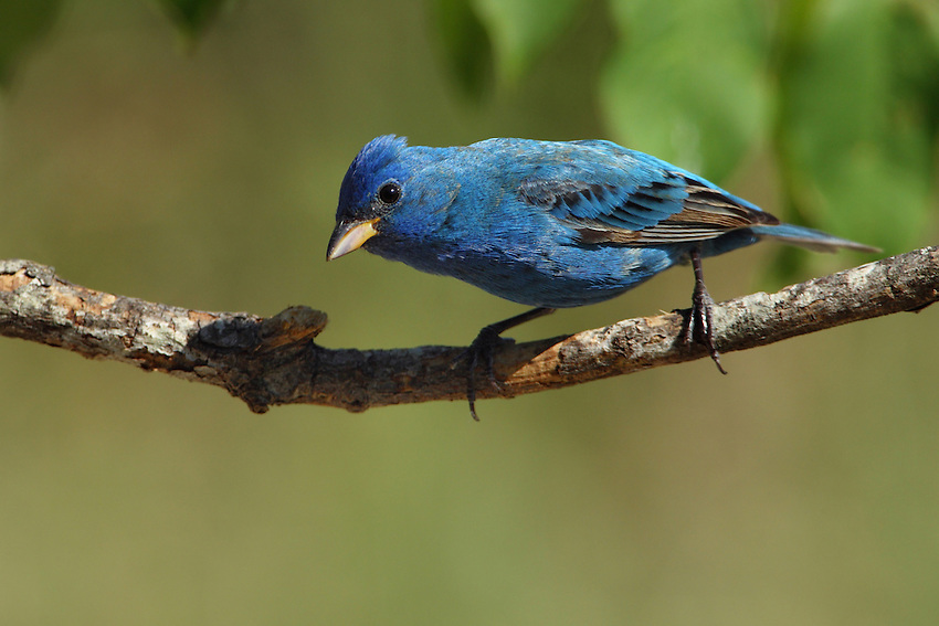 Male Breeding Plumage: Blue all over, deepest on head. Black in front of eyes. Occasionally with some brown on back, wing, breast, or under tail, or whitish on belly. Wing feathers dark, edged in blue. Upper bill blackish, lower mandible blue-gray.