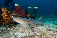 Nurse shark, Ginglymostoma cirratum, West Palm Beach, Florida, Atlantic