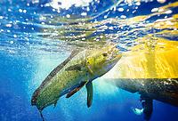 mahi-mahi, common dolphinfish, or dorado, Coryphaena hippurus, Kohala Coast, Big Island, Hawaii, USA, Pacific Ocean