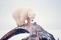 polar bear, Ursus maritimus, cub scavenging on a baleen whale bone, Balaena mysticetus, in the 1002 coastal plain, Arctic National Wildlife Refuge, Alaska, polar bear, Ursus maritimus