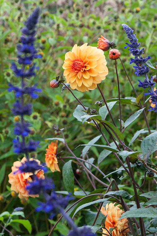 Salvia 'Indigo Spires' and Dahlia 'David Howard', mid October.