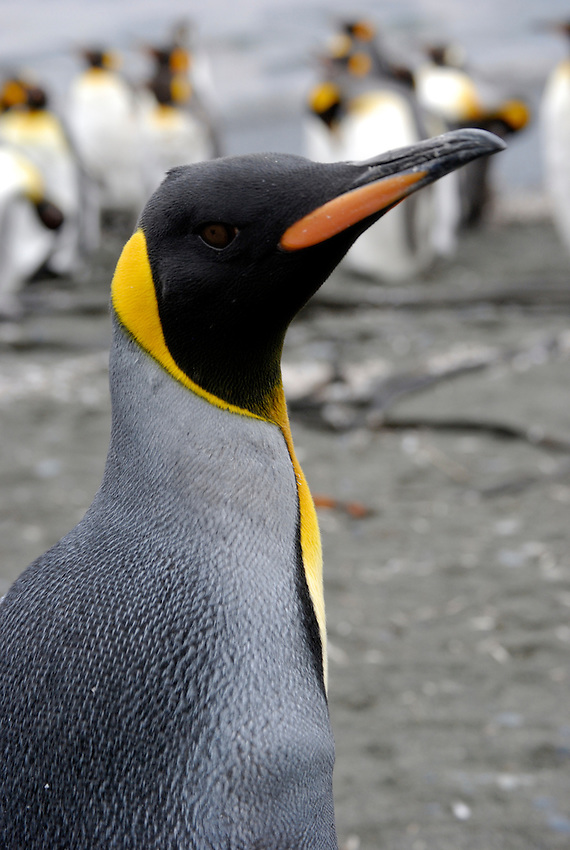 Is My Tie on Straight? - A King penguin at Sandy Bay, Macquarie Island