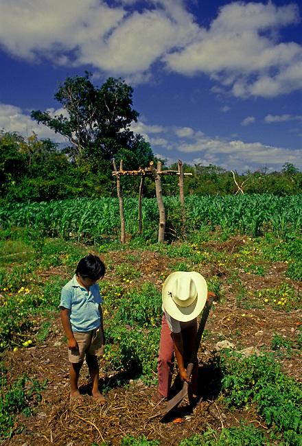 Ethnic Maya boys working in tomato field, Tulum, Quintana Roo State, Yucatan Peninsula, Mexico, North America