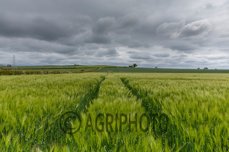 26-5-2021 Winter Barley <br /> ©Tim Scrivener Photographer 07850 303986<br />      ....Covering Agriculture In The UK....