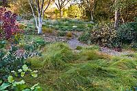 Dave's December meadow; Lawn substitute Carex praegracilis, Field Sedge