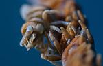 Anker's Whip Coral Shrimp, Pontonides ankeri, Ambon