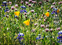 Poppies and lupine and friends