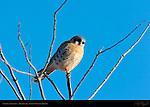 American Kestrel Male, Bosque del Apache Wildlife Refuge, New Mexico