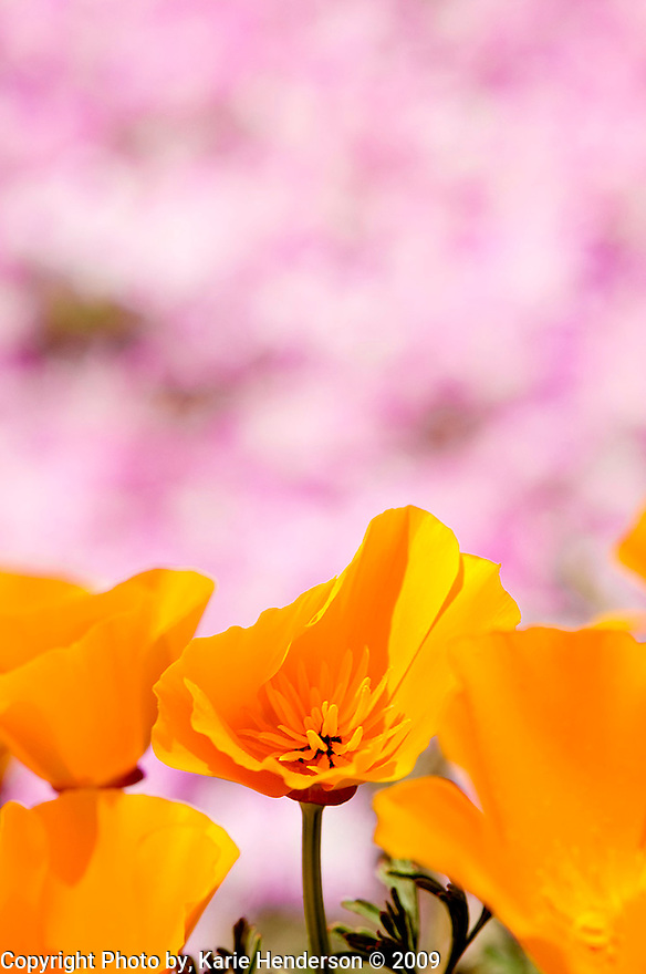California Poppy, Aschscholzia californica, found here in Big Sur California, along HWY 1, Miniature Ice Plants in the background.  Photographed with a Nikon D300 and a Nikon 105mm lens.  .