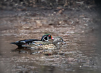 A pair of Wood Ducks swimming in natural habitat side by side