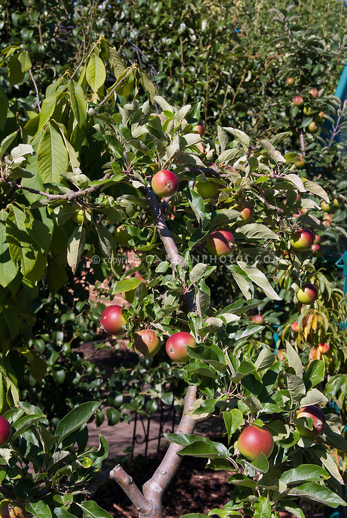 Malus domestica 'Fiesta', Apple) D AGM fruit, ripe red apples on tree