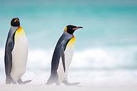 king penguin, Aptenodytes patagonicus, on beach, Volunteer Point, East Falkland, Falkland Islands, Atlantic Ocean