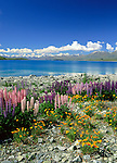 New Zealand, South Island, Lake Tekapo: View of Lake with Lupins | Neuseeland, Suedinsel, Lake Tekapo: bluehende Lupinen am See
