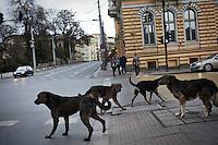 BULGARIA, Sofia, 2012/04/5..A group of dogs waiting to cross the street at an intersection in the center of Sofia, Bulgaria..BULGARIE, Sofia, 2012/04/5..Un groupe de chiens errants attendent de traverser la rue à un carrefour du centre de Sofia, Bulgarie..© Pierre Marsaut