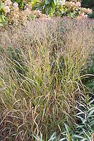 Panicum virgatum 'Shenandoah' ornamental grass in autumn