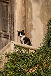 Black & white cat at the Mercouri Estate Winery in Katakolon, Pyrgos, Greece