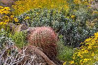 Ferocactus acanthodes, Barrel Cactus and Brittlebush, California native plants in spring, Glorieta Canyon Anza Borrego State Park with Brittlebush
