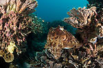 Apo Island, Dauin, Negros Oriental, Philippines; a large cuttlefish hiding amongst the coral reef
