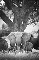 Black and white photograph of a group of African elephants (Loxodonta africana) in the savannah in Tarangire National Park, Tanzania
