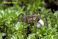 LC01-027b  Wolf Spider - with egg case - Trochosa terricola