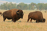 Bull Bison with Cow during rut