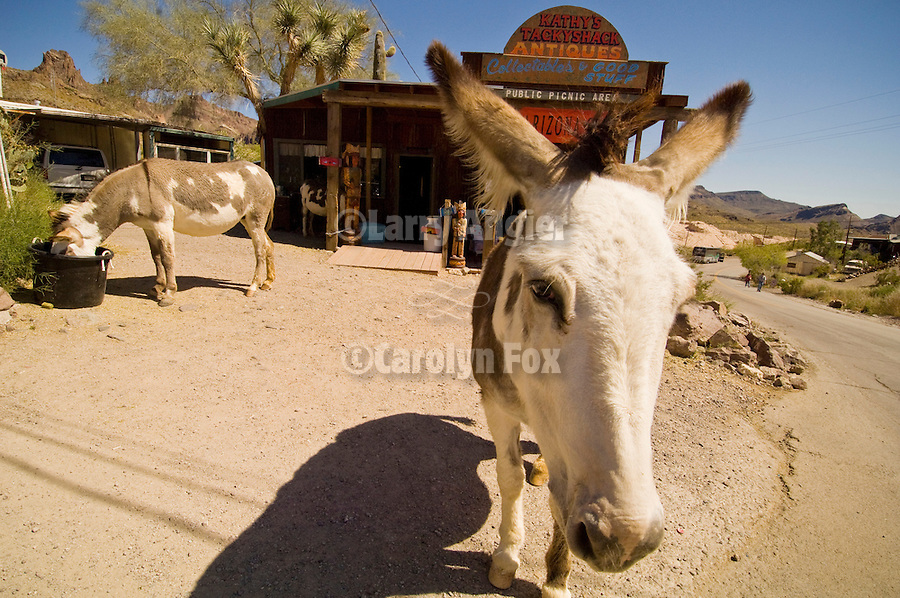 Two jackasses, one eats, the other watches, Oatman, Ariz.