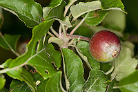 Wild-Apfel, Holz-Apfel, Wildapfel, Holzapfel, Apfel, Malus sylvestris, Wild Crab, Apple