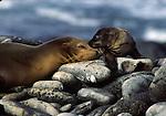 California sea lion female and pup