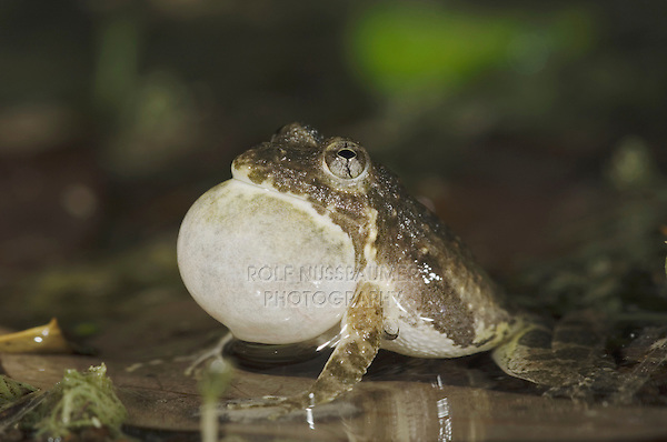 Cliff Chirping Frog, Eleutherodactylus marnockii, male at night calling, Uvalde County, Hill Country, Texas, USA