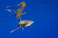 oceanic whitetip shark, Carcharhinus longimanus, with surface reflection, Kona Coast, Big Island, Hawaii, USA, Pacific Ocean