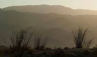 Ocatillos in Anza Borrego Desert.