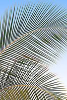 Close up of palm tree leaves. Kaiai, Hawaii