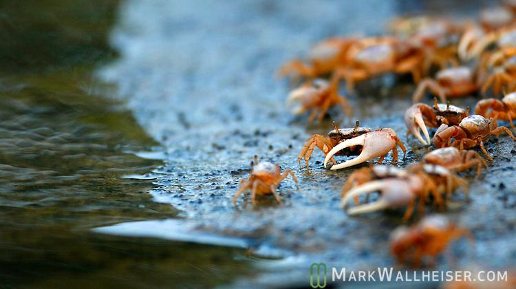 Fiddler crabs at Shell Point in coastal Wakulla County south of Tallahassee, Florida   (Mark Wallheiser/TallahasseeStock.com)