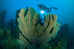 Elephant ear sponge: Ianthella basta, green - gray coloured, attached to a shipwreck, with diver onlooking with torch, Solomon Islands