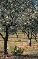 Europe/Provence-Alpes-Côte d'Azur/83/Var/Ile de Porquerolles: Collection variétale d'oliviers au Conservatoire Botanique National Méditerranéen