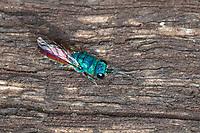 Gemeine Goldwespe, Feuer-Goldwespe, Feuergoldwespe, Goldwespe, Gold-Wespe, Chrysis cf. terminata, Chrysis ignita Gruppe, Artengruppe, common gold wasp, gold wasp, ruby-tail, ruby-tailed wasp, Goldwespen, Chrysididae, cuckoo wasp, cuckoo wasps, gold wasps