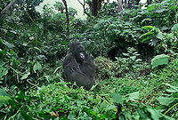 642229006 a wild silverback mountain gorilla gorilla gorilla berengi in the protected cloud forest in the virungas national park in zaire