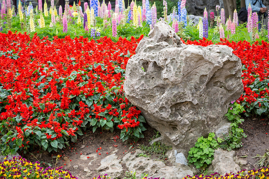 Yangzhou, Jiangsu, China.  Red Salvia (Scarlet Sage) and Rock Formation in Slender West Lake Park Garden.