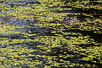 Damon, Texas; a juvenile American alligator floating at the surface of the slough camouflaged against the green algae surrounding it