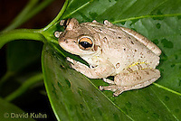 0201-0913  Cuban Treefrog (Cuban Tree Frog) on Tropical Leaf, Osteopilus septentrionalis  © David Kuhn/Dwight Kuhn Photography.