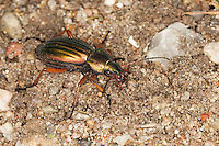 Gold-Laufkäfer, Goldlaufkäfer, Goldschmied, Goldiger Laufkäfer, Goldhenne, Carabus auratus, golden ground beetle