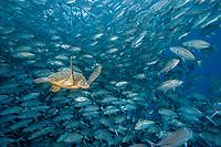green sea turtle, Chelonia mydas, swimming through a school of bigeye trevally, Caranx sexfasciatus, Sipadan Island, Sabah, Malaysia, Borneo, Celebes Sea, Indo-Pacific Ocean