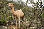 Dromedary (Camelus dromedarius) in cloud forest, their browsing reduces food for native herbivores, Hawf Protected Area, Yemen