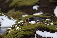 Gentoo Penguin sleeping on Heard Island, Antarctica