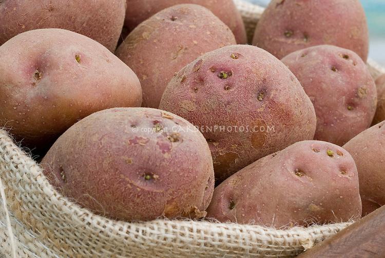 Potatoes 'Etoile du Nord' red skinned, showing closeup of potato eyes