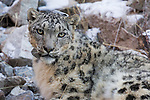 Snow Leopard (Panthera uncia) male with collar, Sarychat-Ertash Strict Nature Reserve, Tien Shan Mountains, eastern Kyrgyzstan