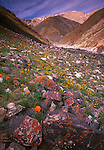Wildflowers dot rugged mountainsides, Mongolia.